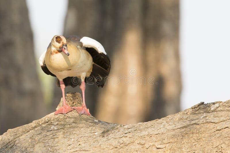 Egyptian goose resting on log stock photo