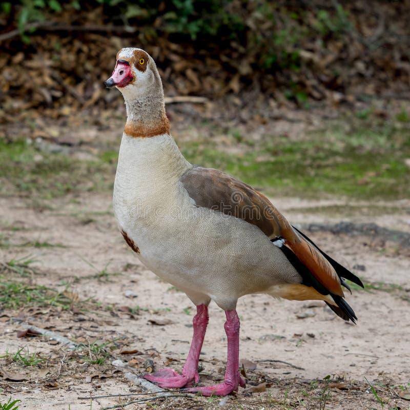 Download Egyptian Goose 5 stock image. Image of black, beak, bird - 83710331