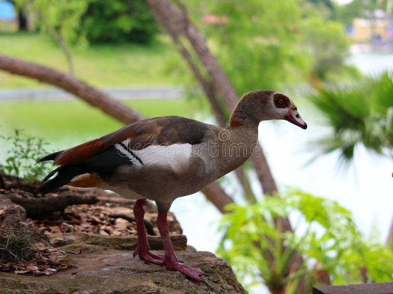 An Egyptian Goose watching over babies at a park. stock photo