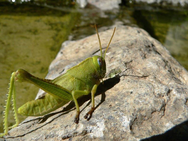 Egyptian grasshopper. Anacridium aegyptium stock photography