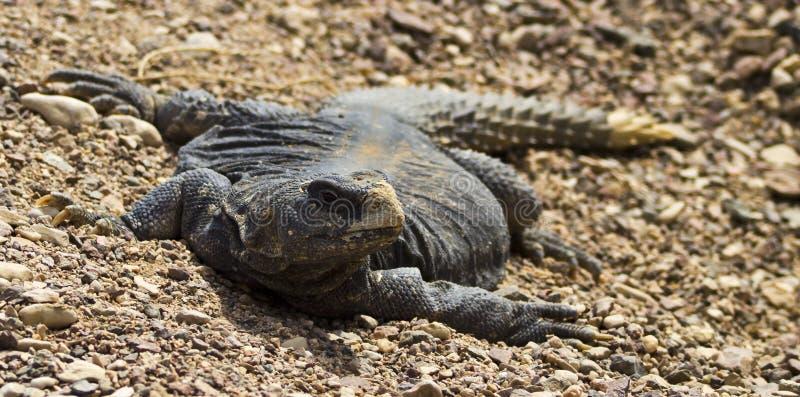 Download Egyptian Lizard (Uromastyx Aegytius) Stock Photo - Image of acacia, head: 23875188