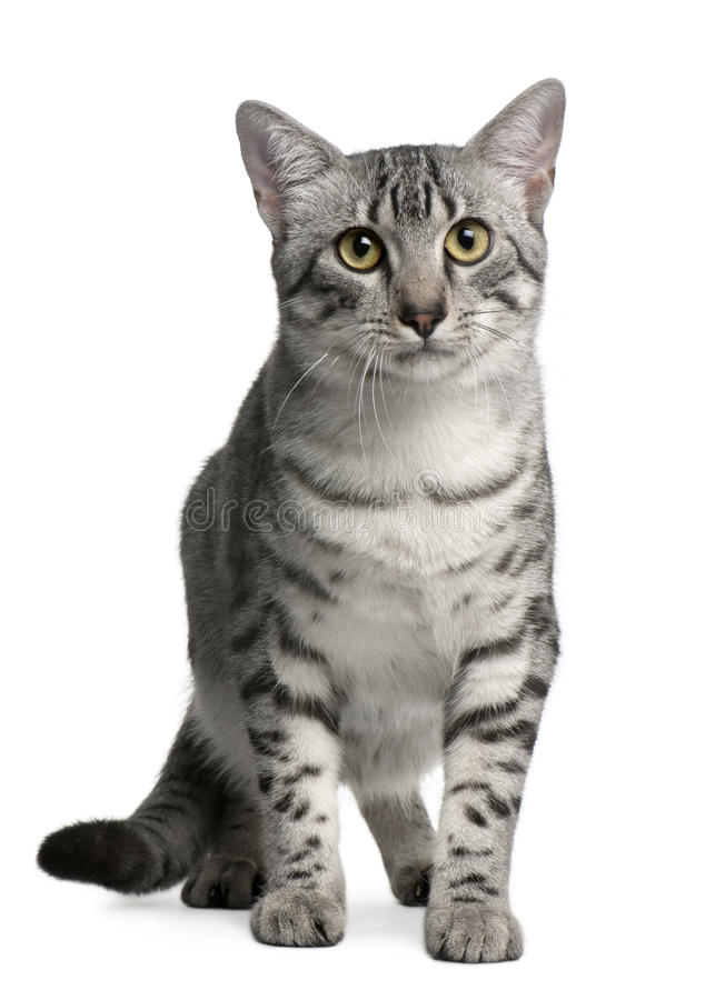 Egyptian Mau Cat, 7 months old, sitting