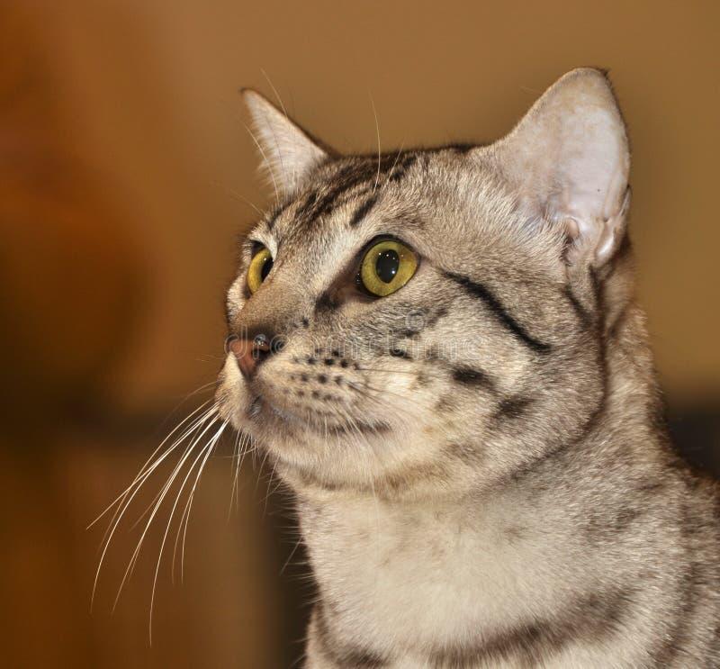 Egyptian Mau cat stock image