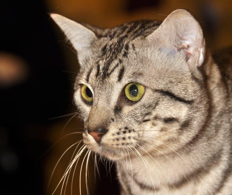Egyptian Mau cat royalty free stock photography