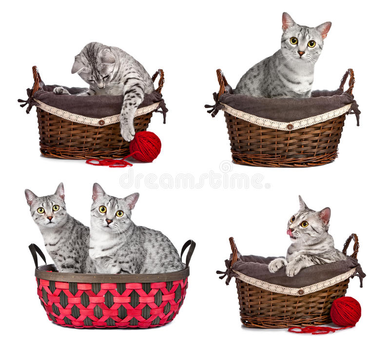 Egyptian Mau Cats In Baskets Stock Image