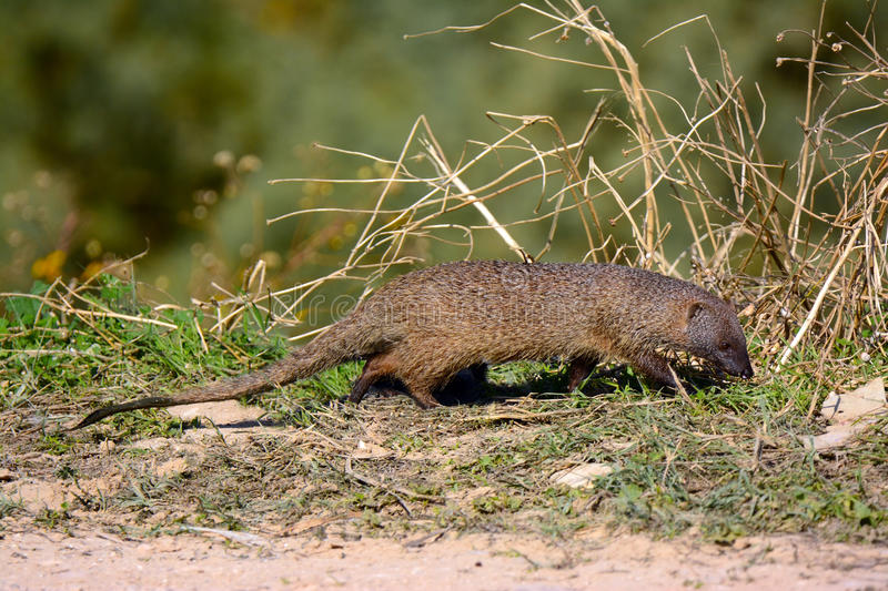 Egyptian mongoose. Foraging in the wild stock photos