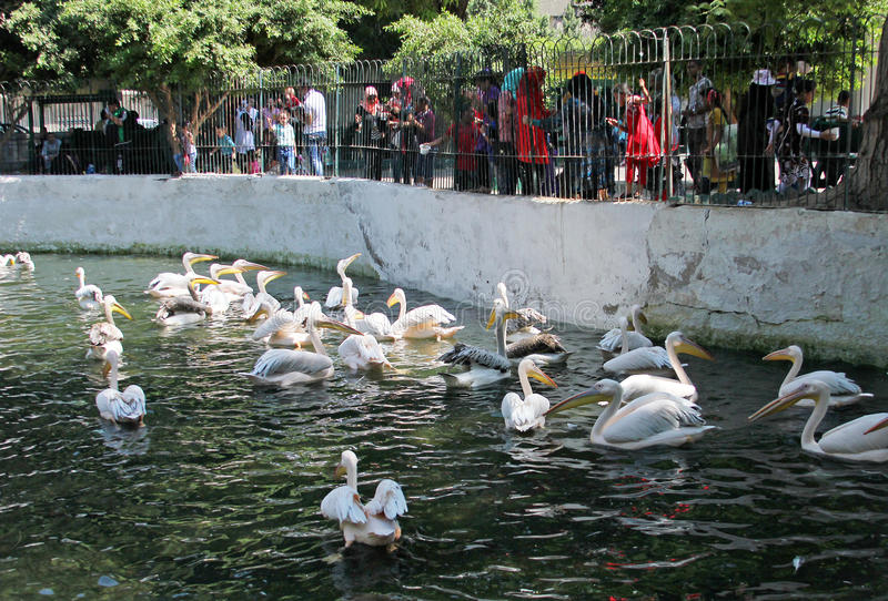 Egyptian people watching pelicans royalty free stock photo