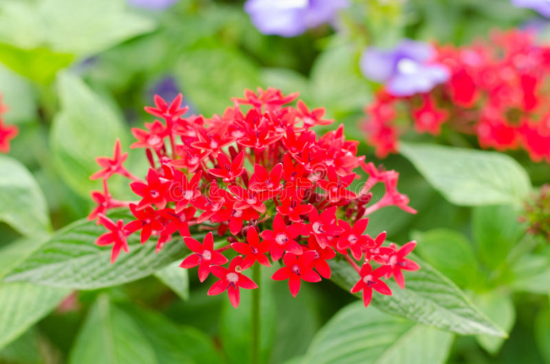 Egyptian star cluster. Red star flower royalty free stock photo
