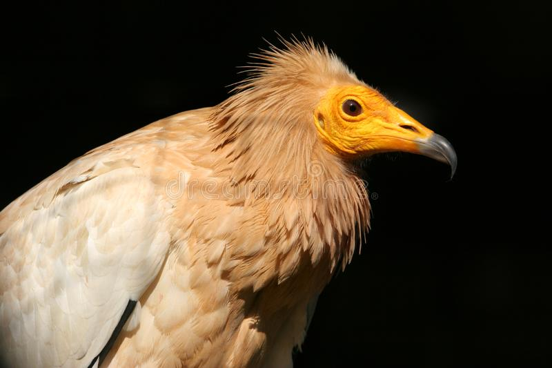 Download Egyptian Vulture stock image. Image of feathers, hunter - 13605457
