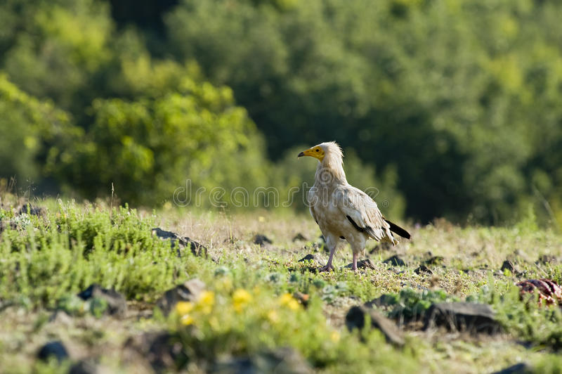 Download Egyptian vulture stock image. Image of raptorial, mottled - 15478567