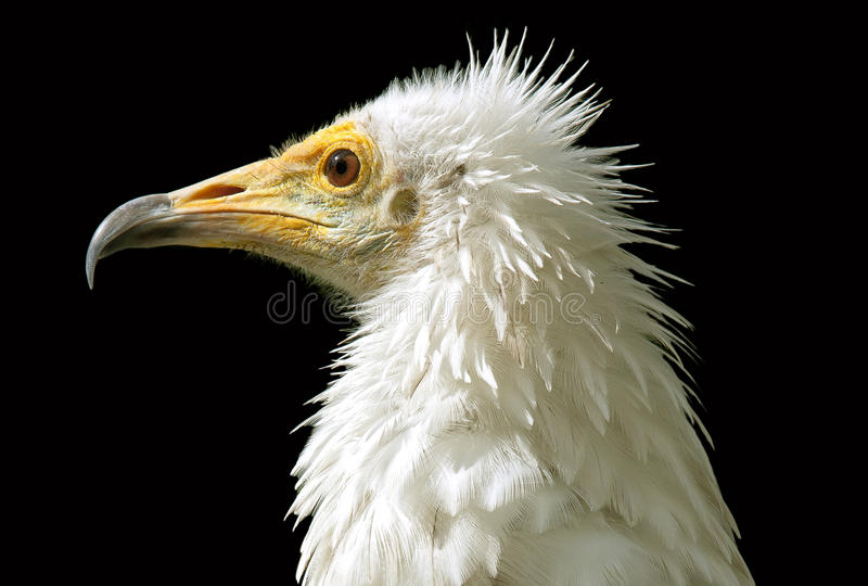 Download Egyptian vulture stock photo. Image of hawk, white, fierce - 16429590