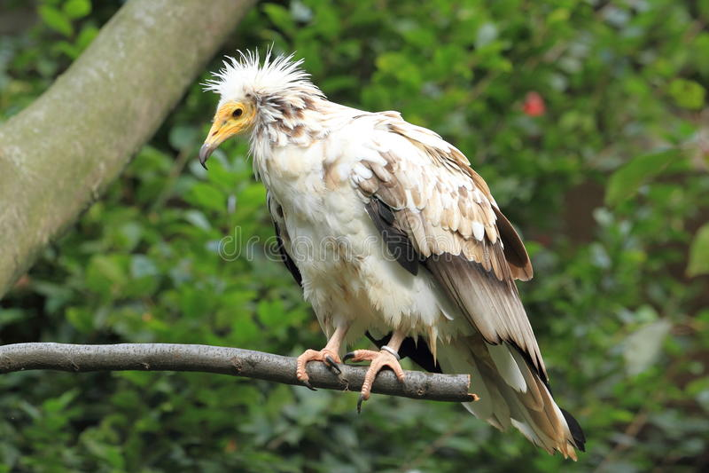 Egyptian Vulture Stock Photos