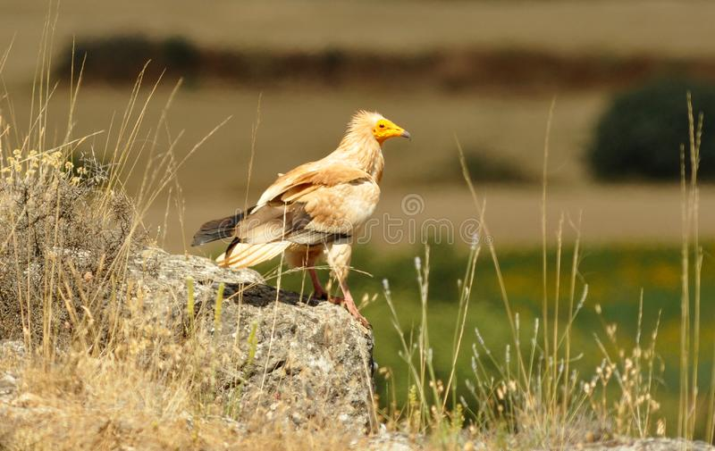 Egyptian Vulture perches on the rocks in the Sorian fields. A Egyptian Vulture perches on the rocks in the Sorian fields stock image