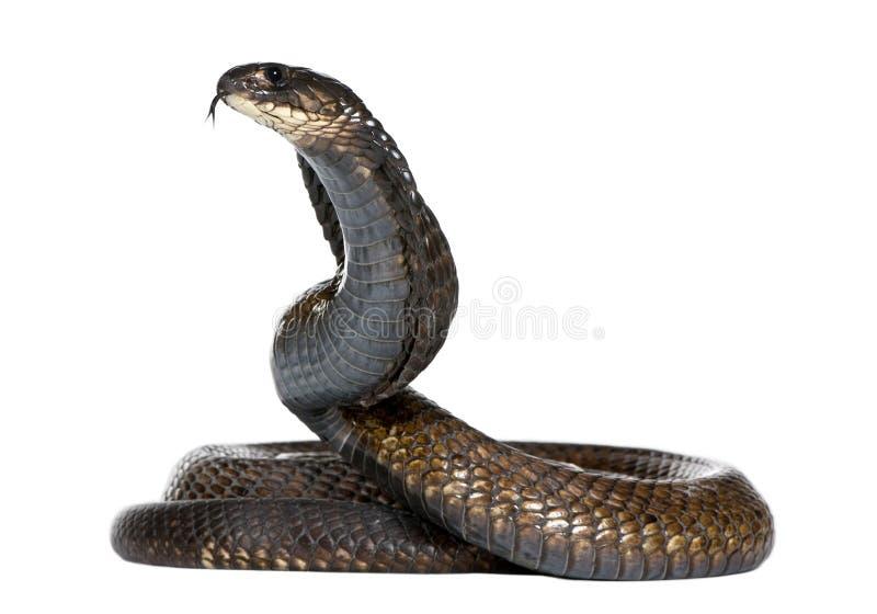 Egyptische cobra - Naja haje stock afbeeldingen