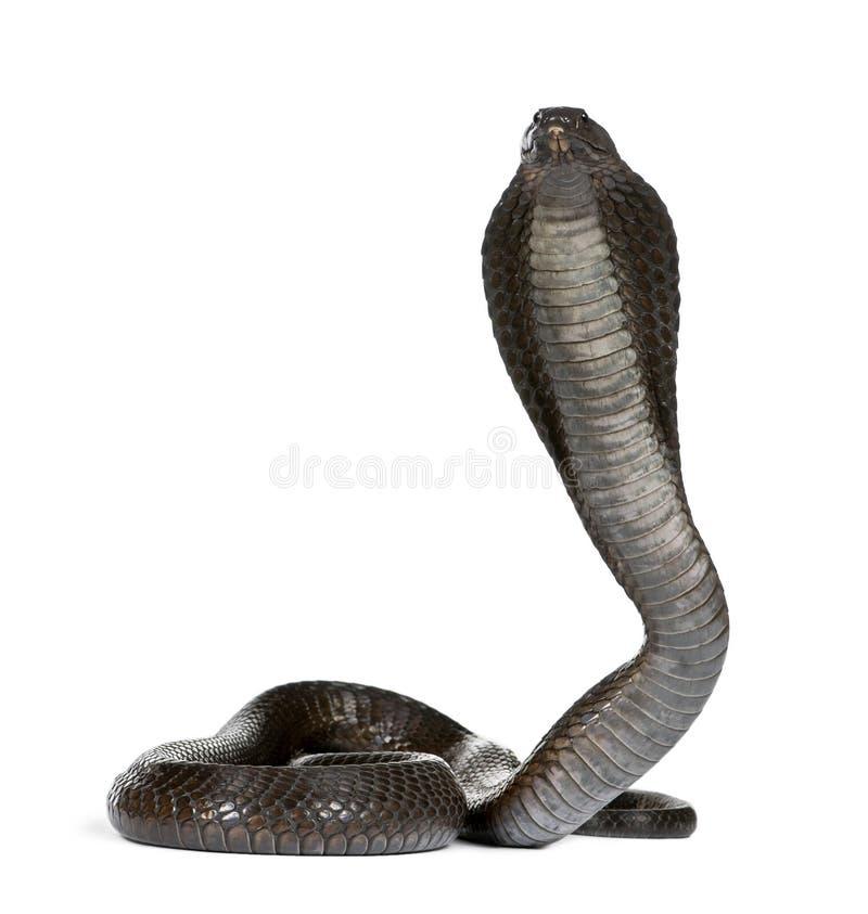 Egyptische cobra voor een witte achtergrond stock foto