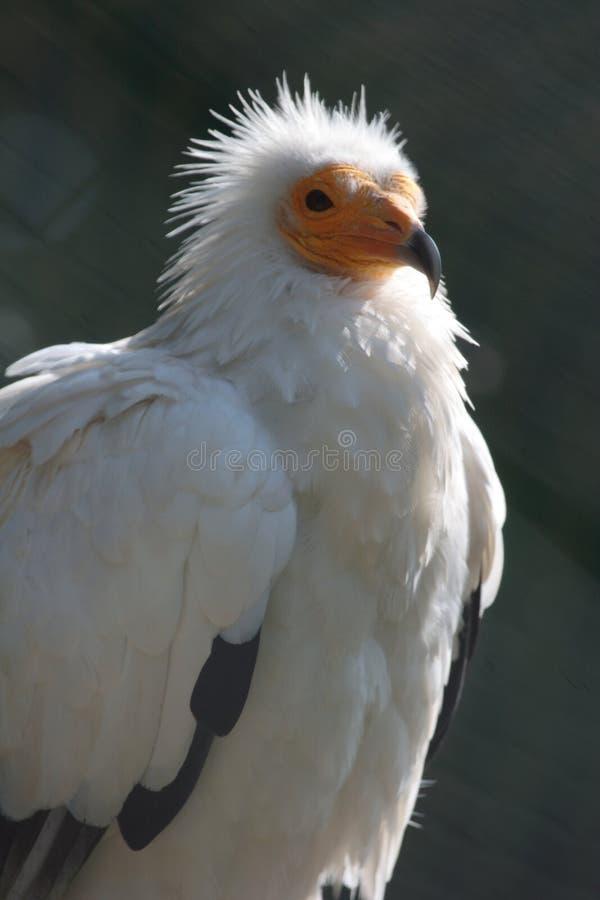 Egyptische gier stock foto's
