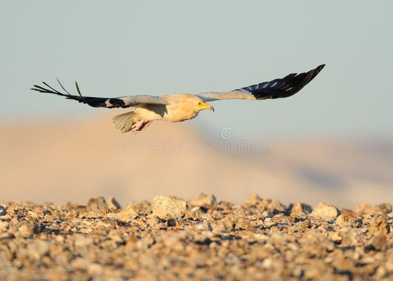 Egyptische gier stock foto