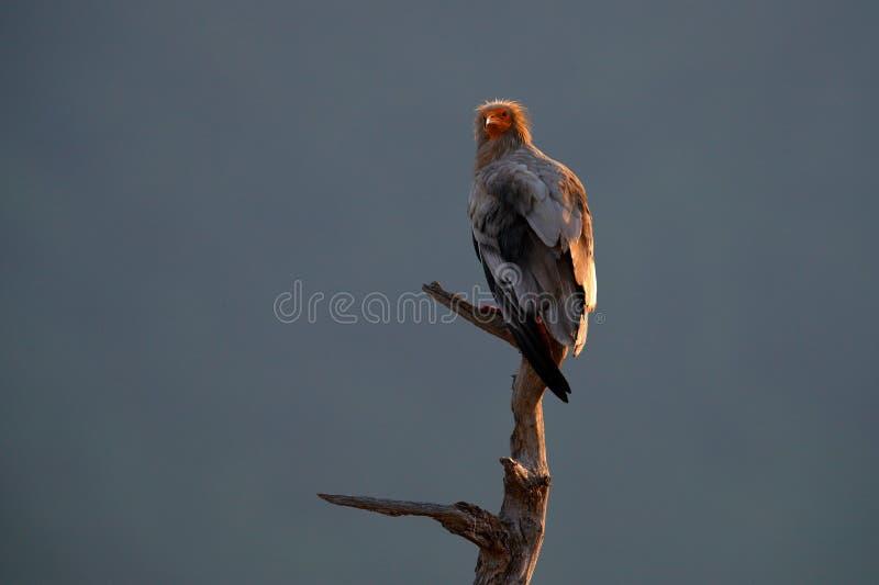 Egyptische giervlieg, Neophron-percnopterus die, grote vogelavond op de boomboomstam landen, Madzarovo, Bulgarije, Oostelijke Rho royalty-vrije stock afbeelding
