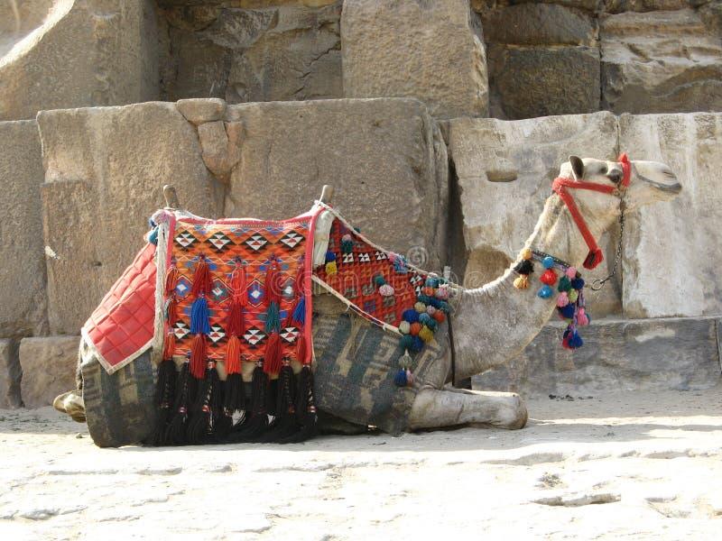 Egyptische kameel royalty-vrije stock foto's