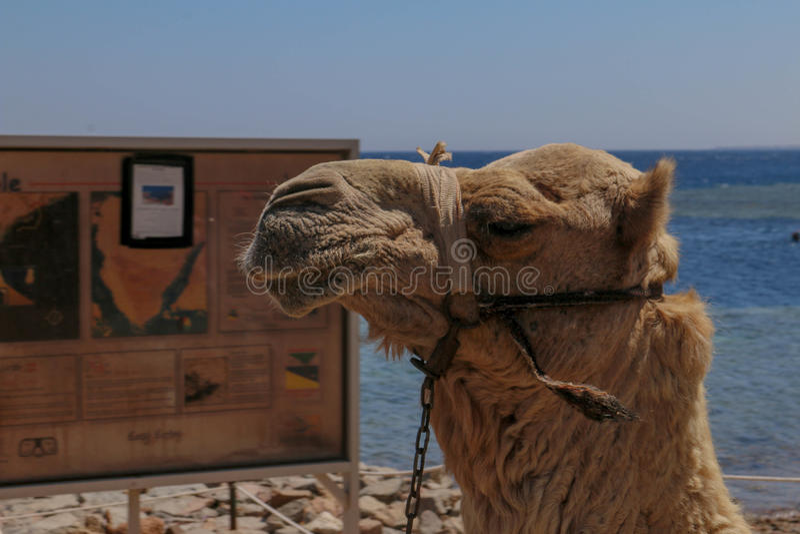 Egyptische Kameel stock afbeelding