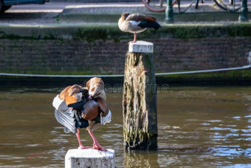 Egyptisk gåsAlopochen aegyptiaca som putsar fjäderstundanseende på en trästolpe i mitten av en kanal i Amsterdam, arkivfoton