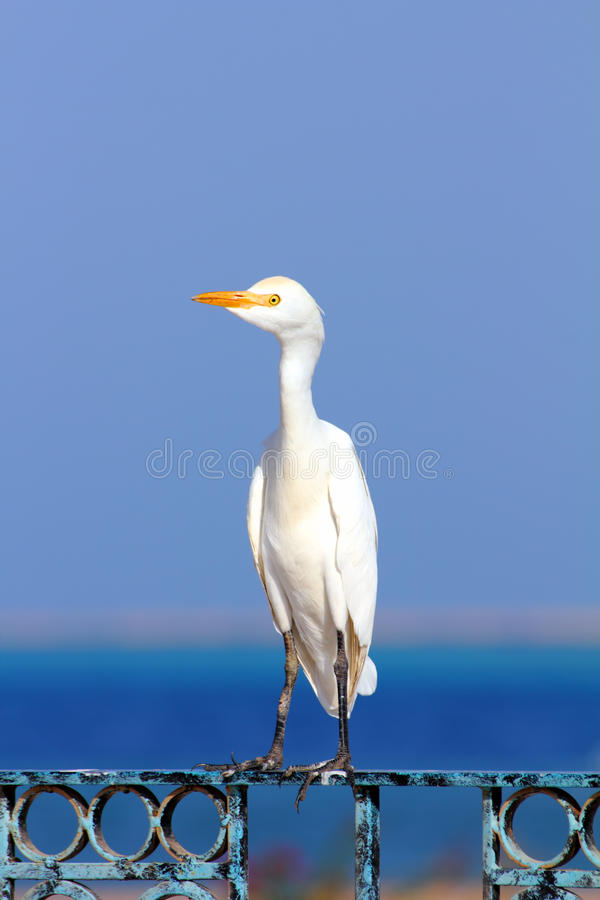 egyptisk heron ibis för bubulcus royaltyfria bilder