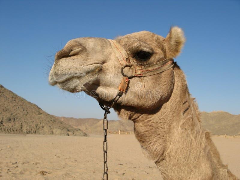 Egyptisk kamel royaltyfri foto