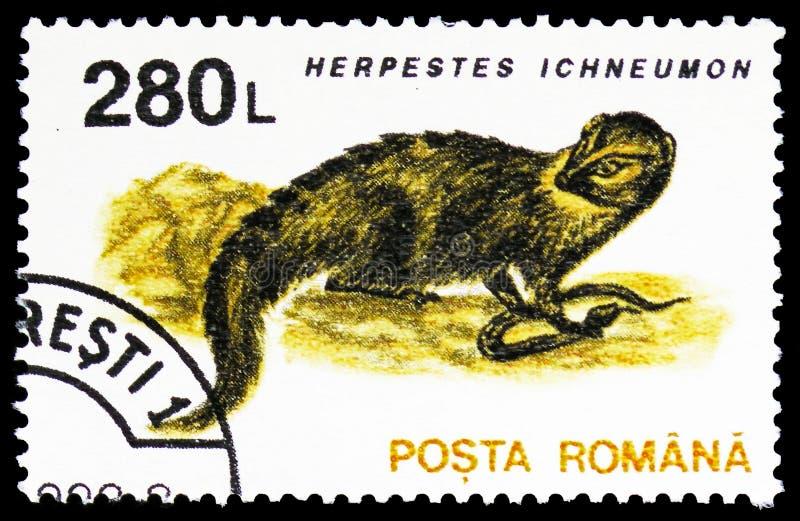 Egyptisk mungor (Herpestesichneumonen), däggdjurserie, circa 1993 royaltyfria foton