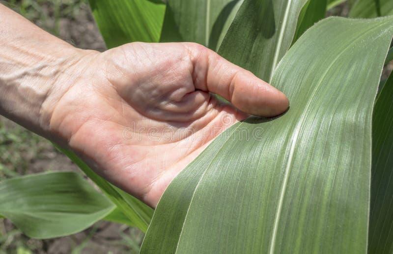 Egzaminacyjny kukurydzany liść zdjęcie royalty free
