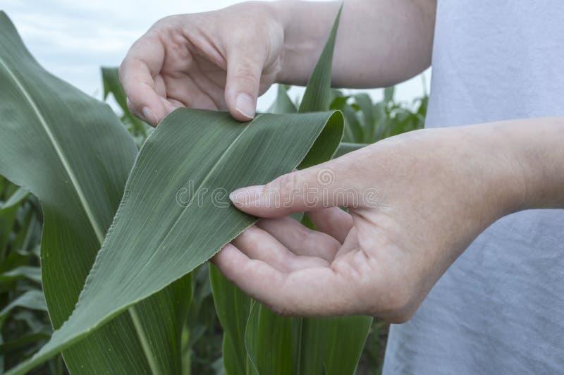 Egzaminacyjny kukurydzany liść Rolnictwo wiejska scena obrazy stock