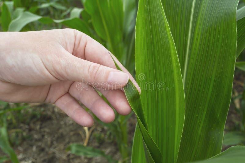 Egzaminacyjny kukurydzany liść, rolnictwo wiejska scena zdjęcie stock