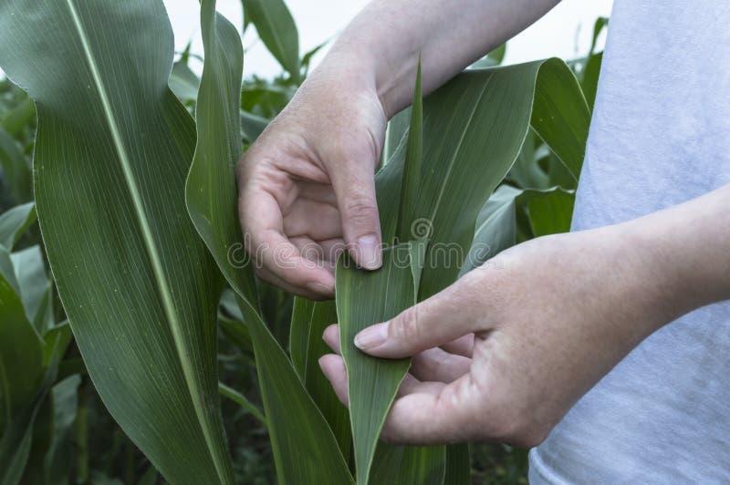 Egzaminacyjny kukurydzany liść Rolnictwo wiejska scena fotografia stock