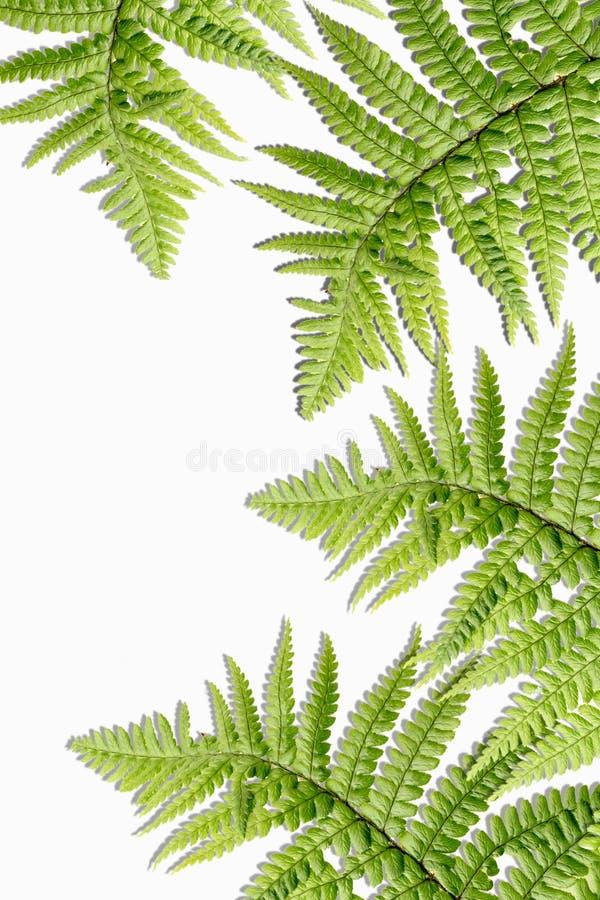 Egzot zasadza tło z paprociowymi liśćmi obrazy royalty free