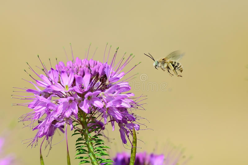 Egzota zieleń przyglądająca się Długo rogata Pszczoła zdjęcia stock