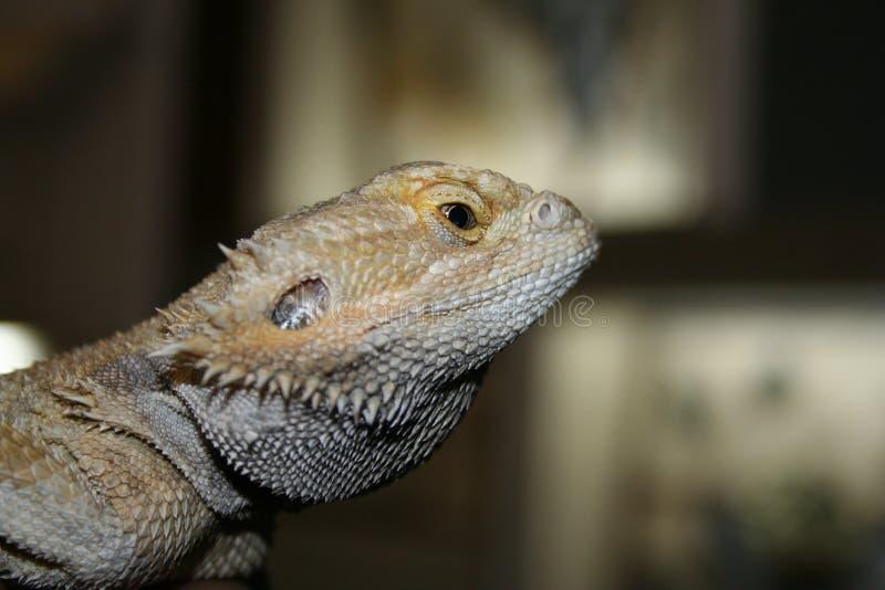 Egzotyczna śliczna jaszczurka w terrarium pozach dla kamery obrazy royalty free