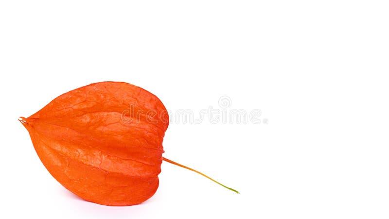 Egzotyczna świeża pomarańczowa pęcherzyca odizolowywająca na białym tle odbitkowa przestrzeń, szablon obrazy stock