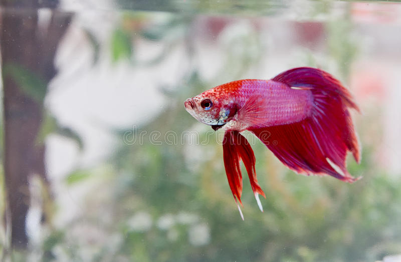 Egzotyczna bety ryba obraz royalty free
