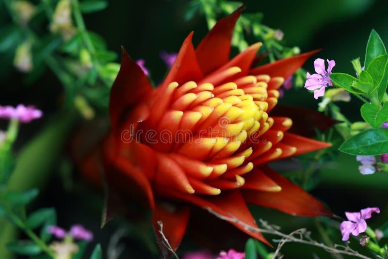 Egzotyczna czerwień i żółty kwiat obraz royalty free