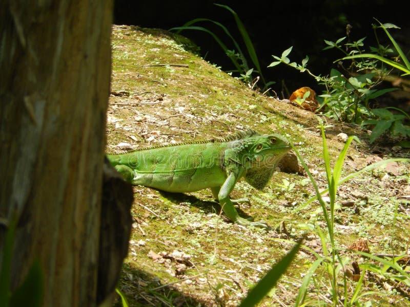 Egzotyczna iguana obraz royalty free