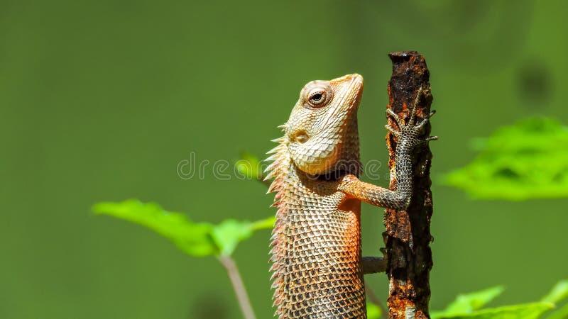 Egzotyczna kolorowa jaszczurka stoi na starym ośniedziałym metalu kiju z ostrymi kolcami fotografia royalty free