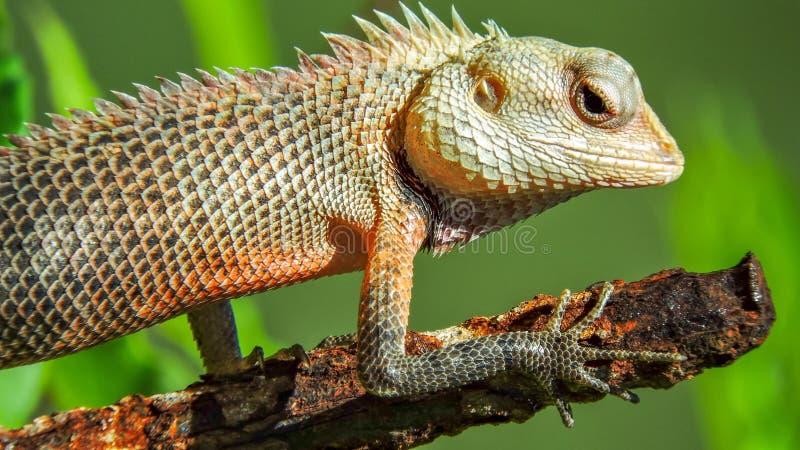 Egzotyczna kolorowa jaszczurka stoi na starym o?niedzia?ym metalu kiju z ostrymi kolcami obraz royalty free