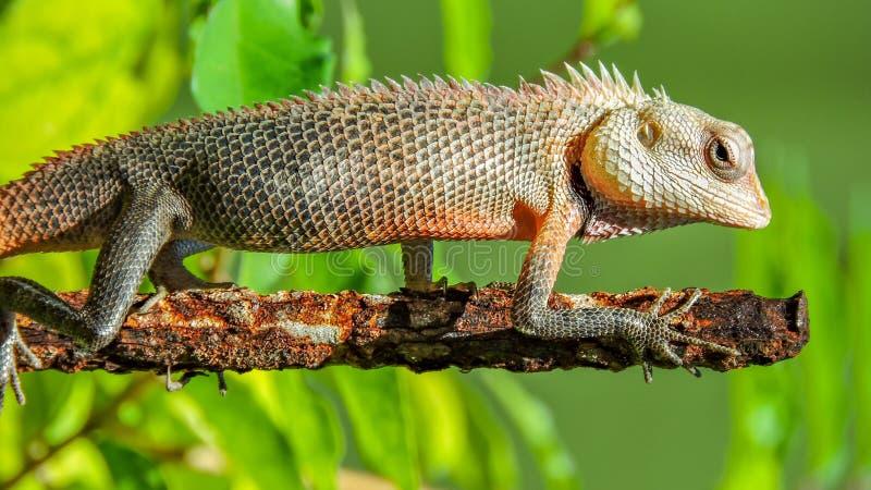 Egzotyczna kolorowa jaszczurka stoi na starym o?niedzia?ym metalu kiju z ostrymi kolcami zdjęcia royalty free