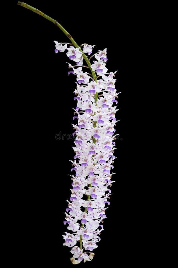 Egzotyczna kwitnąca ber orchidea, różowi łaciastego na białym kwiacie na czarnym tle, obrazy royalty free