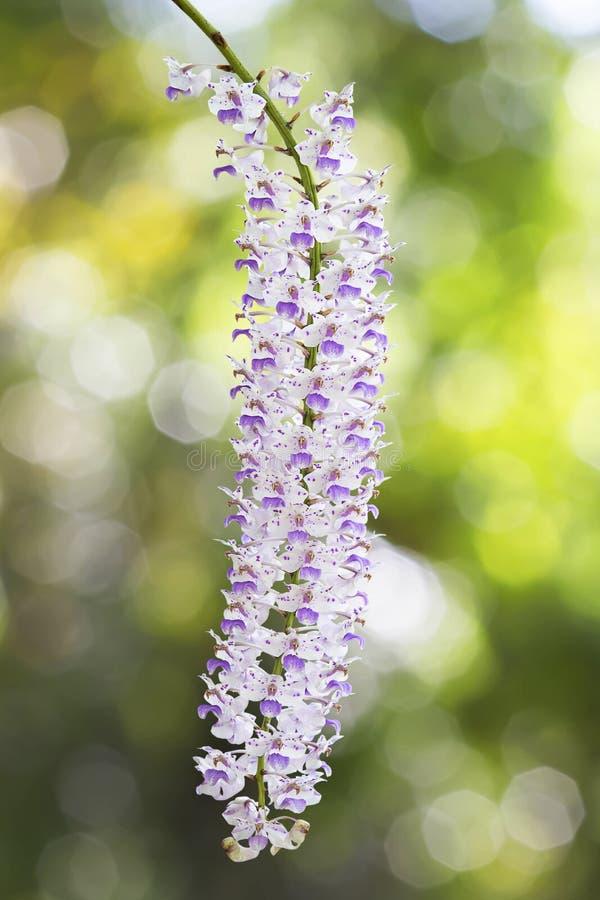 Egzotyczna kwitnąca ber orchidea, różowi łaciastego na białym kwiacie na zamazanym zielonym bokeh tle, obraz royalty free