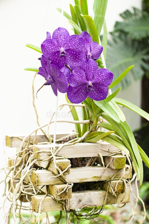 Egzotyczna orchidea w ogródzie botanicznym Tropikalna kwiat dekoracja zamknięta w górę zdjęcie stock