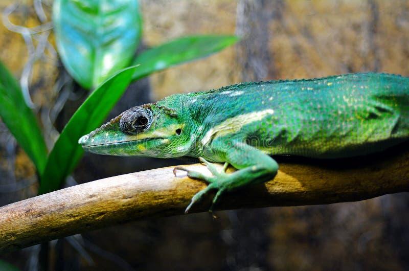 Egzotyczna zielonej jaszczurki zieleń Anole fotografia royalty free