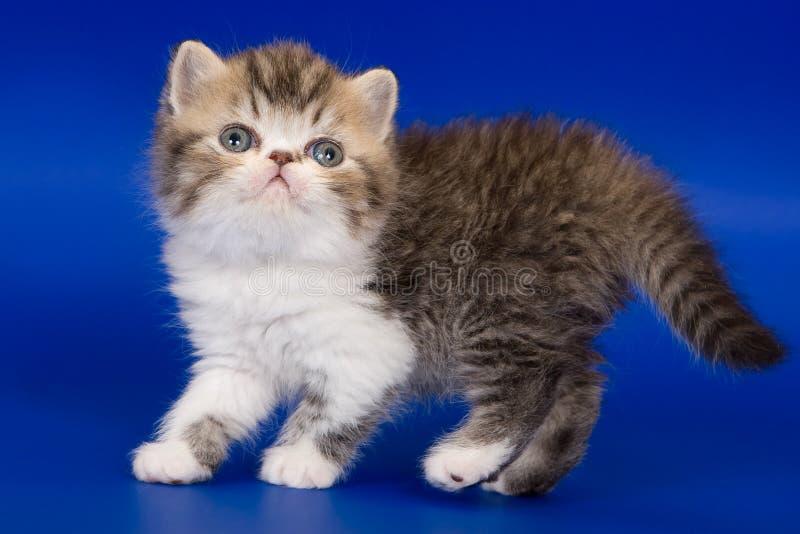 egzotyczne kotku zdjęcia royalty free