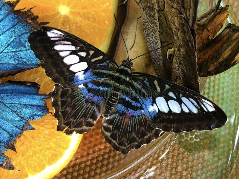 Egzotyczni i tropikalni motyle w und tropische Schmetterlinge im Schmetterlingshaus obraz stock