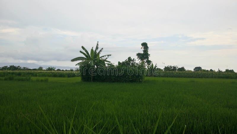 Egzotyczni Rice pola obrazy stock