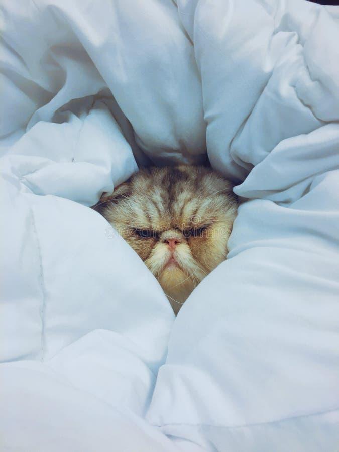 Egzotyczny kota dosypianie w koc Swój miękka część i zawijający obraz royalty free